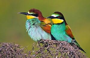 European bee-eaters, Amed, Northern Kurdistan ...