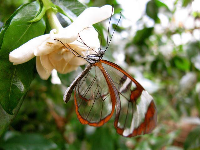 Perierga.gr - Διάφανη πεταλούδα