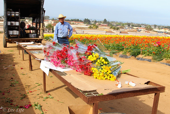 Ranunculus and farm workers, Carlsbad Flower Fields