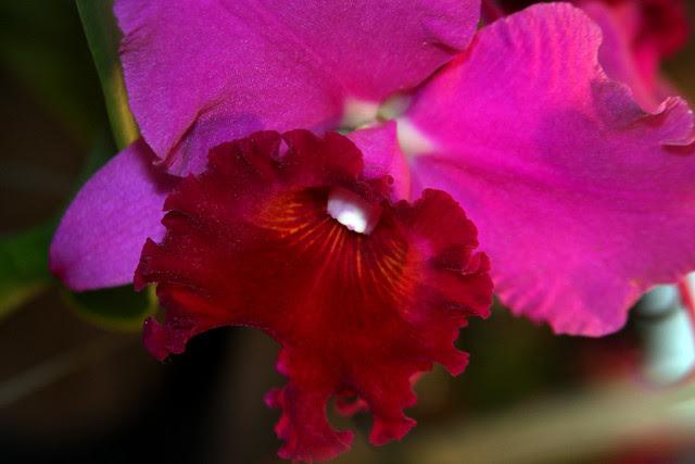 Orquídea RLC Ronald Hausermann