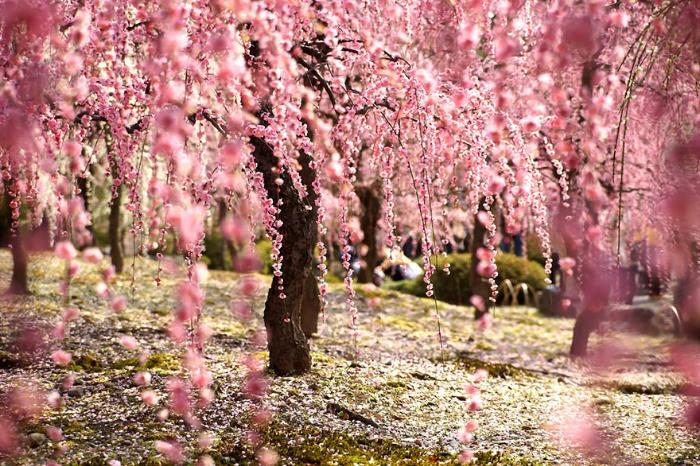 21 Hermosas Fotografías De Sakuras En Flor En Japón Bastísimo