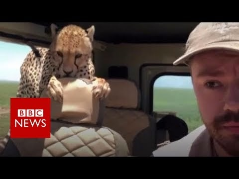 Imperiled cheetahs can come back to Indian woods - court