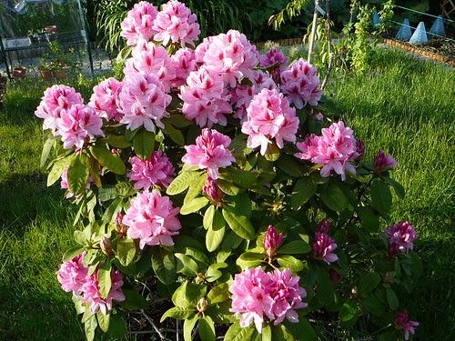 Rhododendron 2008 (05)