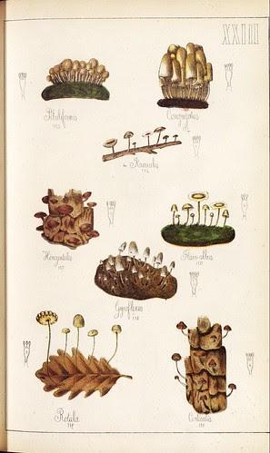 Piluliformis, Congugatus, Horizontalis, Flavo-albus, Gyroflexus et al spp.