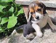 Un cucciolo di beagle