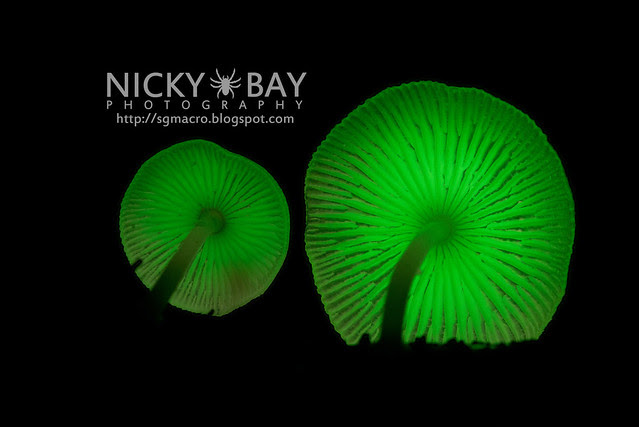 Bioluminescent Fungi (Mycena illuminans?) - DSC_7990