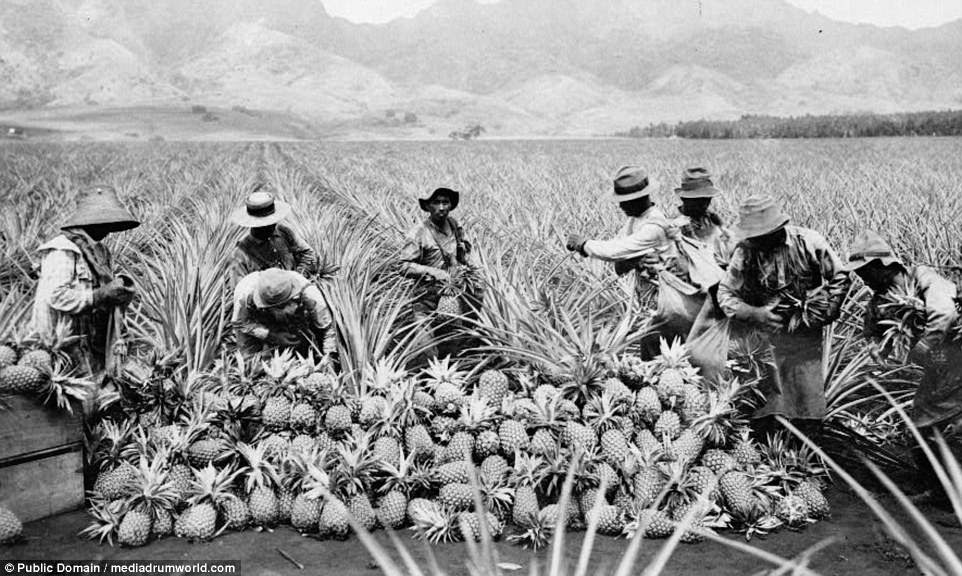 A group of men in thick clothing and hats harvest pineapple in a vast plantation in Hawaii. The picture was taken around 1910