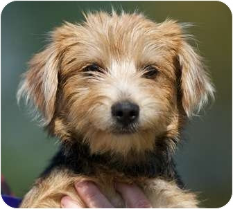 Parker | Adopted Puppy | Providence, RI | Dachshund/Yorkie ...