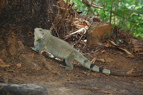 Iguana, Porto Nacional, Brazil