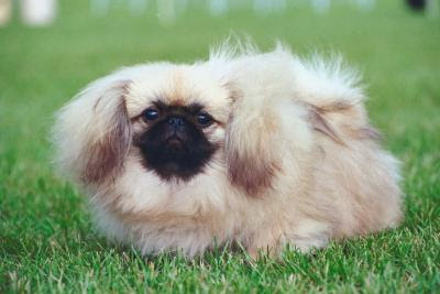A well groomed long-haired dog will fit right in with the pomp and circumstance of a wedding.
