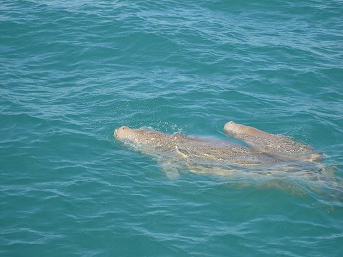 Dugong and baby 1