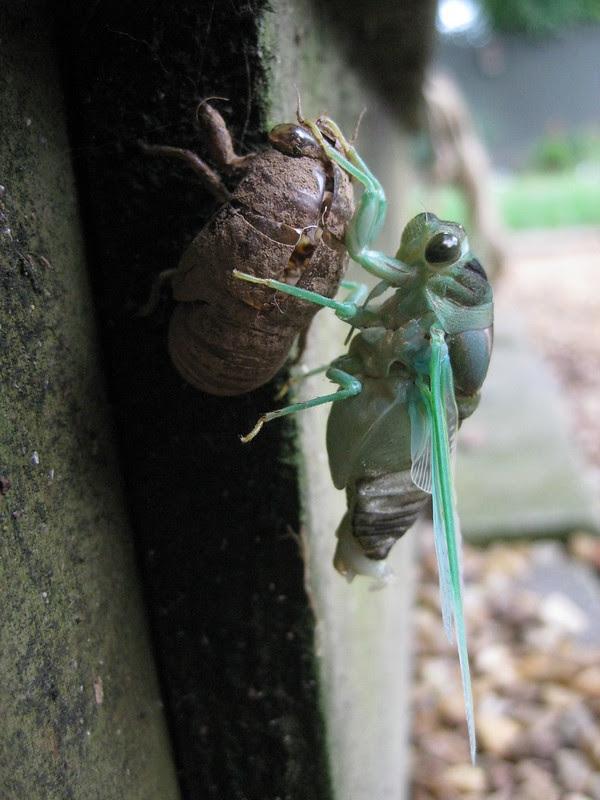 cicada no. 3