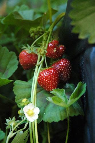 Strawberries by kaishin