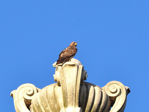 Cathedral Male Red-Tail