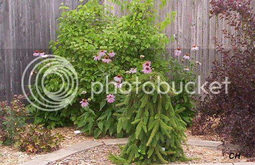 photo 714Coneflowers.jpg
