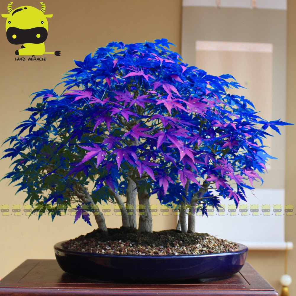 Japanese Ghost Blue Maple Tree Bonsai Bonsai Tree