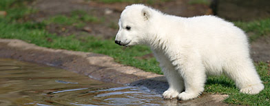 Knut's first presentation at the Berlin zoo in 2007 (Tobias Schwarz/Reuters)