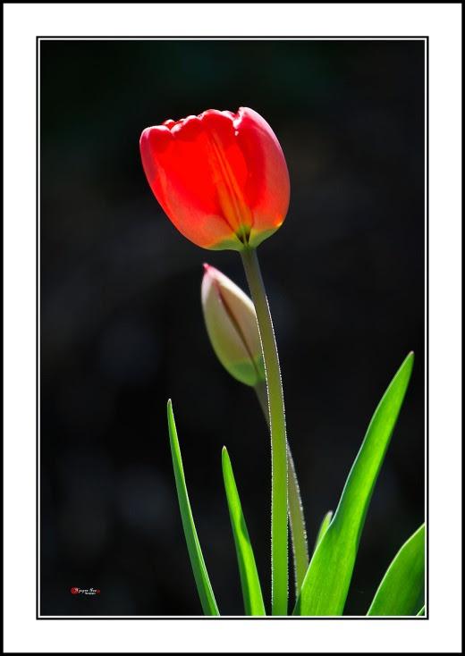 010 Tulip