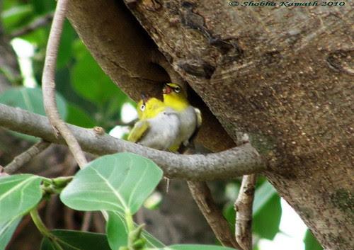 Gir Birding lodge - Oriental white eye