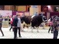 Le plus gros taureau du monde