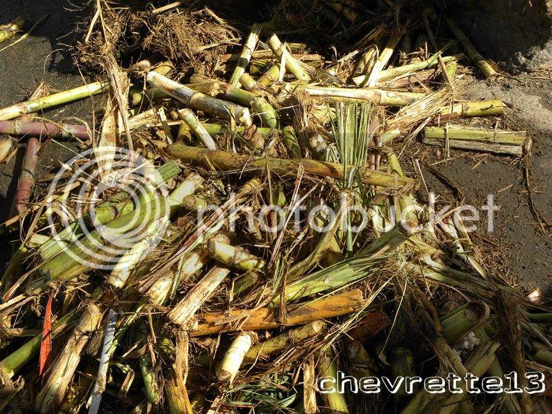 http://i1252.photobucket.com/albums/hh578/chevrette13/Guadeloupe/DSCN8024Copier_zpsac4d8c24.jpg