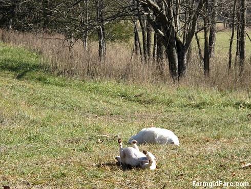 Slowly defrosting in the hayfield (7) - FarmgirlFare.com