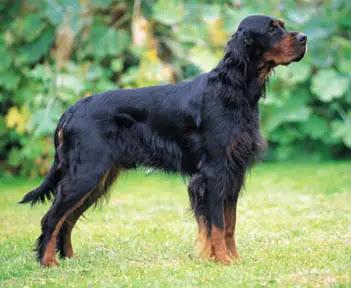 Gordon Setter Info, Temperament, Care, Training, Puppies, Pictures