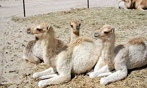 This is a photo showing camels relaxing in Dub...