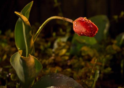 Tulip @ Night