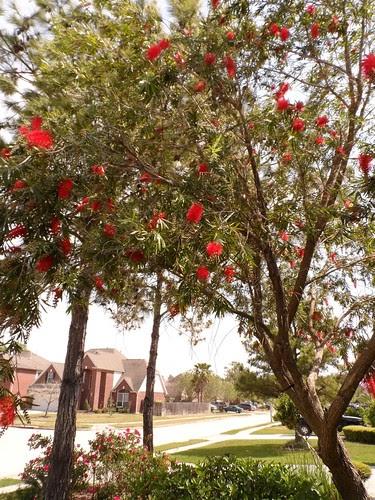 Foraging Texas Bottlebrush Tree