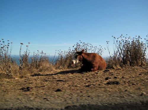Coastal Cow 1