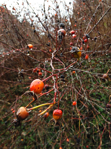 rosehips in the rain