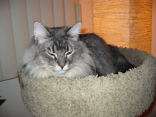 Main Coon cat needs help
