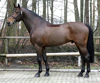 Un cheval bai brun sur lequel on voit quand même les extrémités noires dues au gène Agouti.