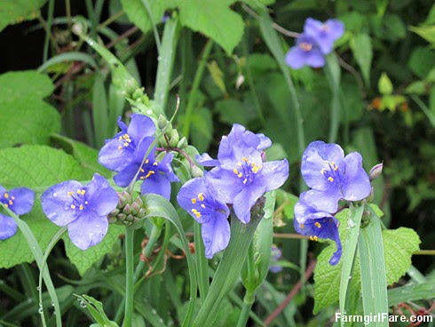 (28-32) Spiderwort is a hardy, very low maintenance perennial with lots of beautifully colored flowers - FarmgirlFare.com