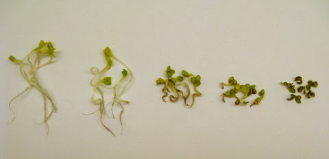 At left, a radish plant exposed to no copper nanoparticles, and then a range, culminating at 1,000 parts per million at right.