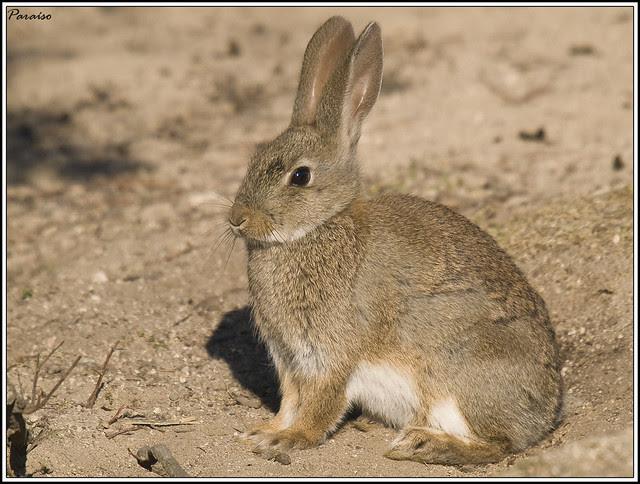 Conejo Ibérico.