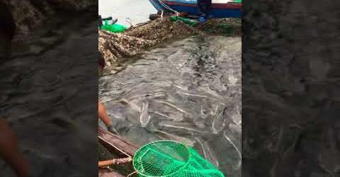 Cảnh ngư dân thu hoạch Cá Bớp không phải ai cũng biết | Duy Jungle