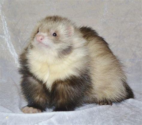 Angora ferret kits 2014 waiting list   Bury St Edmunds, Suffolk   Pets4Homes