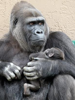 ht_gorilla_101028_ssv