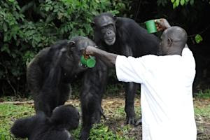 Chimpanzees are fed on Monkey Island, a celebrated …