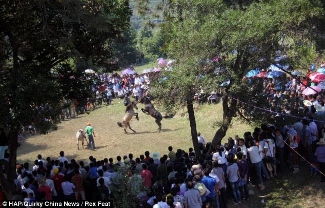 No sport: The event, held to celebrate the autumn harvest has been part of Chinese rural life for centuries, although human rights campaigners have branded it 'barbaric'