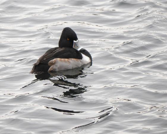 Ed Gaillard: recent &emdash; Ring-Necked Duck, Central Park Reservoir
