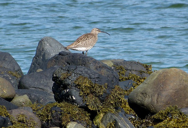 27038 - Whimbrel, Isle of Mull