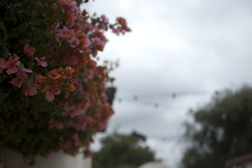 bougainvillea, clouds