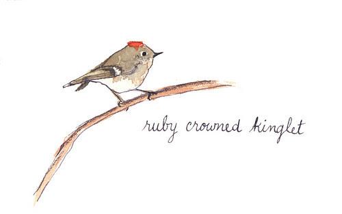 ruby crowned kinglet
