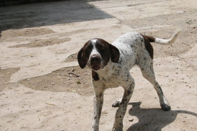 Connie – 5 month old female German Short-Haired Pointer Cross
