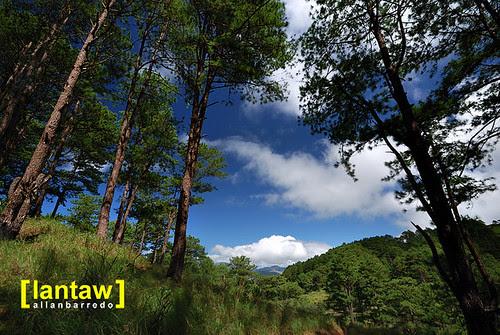 Salacsac Pine Forest 1