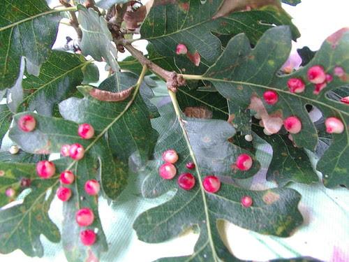 oak leaf 4