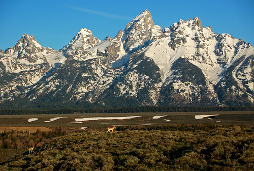 Pronghorn and the Tetons